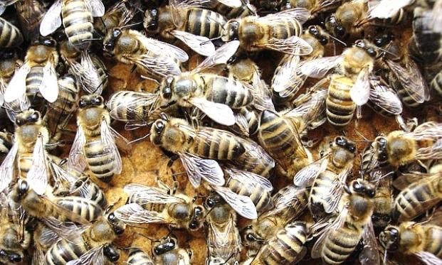 Карпатская пчела