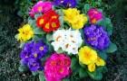 Комнатные цветы на дачной грядке