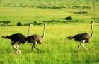 Комплектование родительского стада страусов