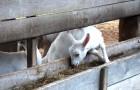 Кормление овец и коз