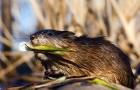 Лов ондатры металлическими мордушками