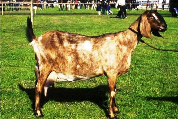 Мегрельская порода коз