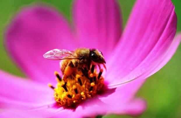 Нектар, содержащий кофеин, заряжает пчёл не хуже кофе