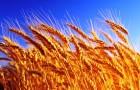 О чём может рассказать история одомашнивания пшеницы