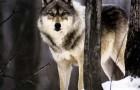 Облавы на логовах волков