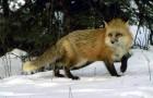 Охота на лис с манком