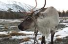 Охота на северного оленя с оленем-манщиком