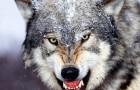 Охота на волков из засады
