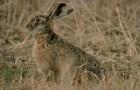 Охота на зайцев с гончими