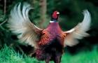 Охота с легавой на фазана