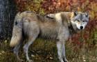 Отлов волков капканами