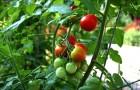 Отвар из ботвы помидоров или паслена черного