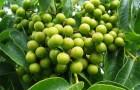 Растение-медонос бархат амурский