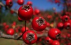 Растение-медонос боярышник