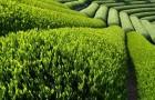 Растение-медонос чай китайский