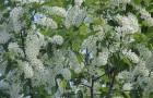 Растение-медонос черемуха
