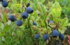 Растение-медонос черника обыкновенная