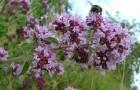 Растение-медонос душица