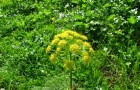 Растение-медонос ферула