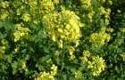 Растение-медонос горчица