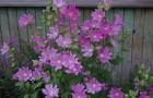 Растение-медонос хатьма тюрингенская
