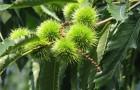 Растение-медонос каштан посевной (каштан настоящий)