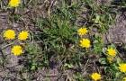 Растение-медонос кульбаба осенняя