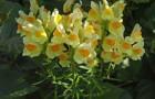 Растение-медонос льнянка