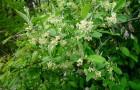 Растение-медонос лох