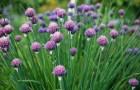 Растение-медонос лук