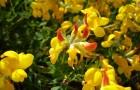 Растение-медонос лядвенец