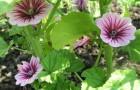 Растение-медонос мальва (просвирник)