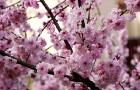 Растение-медонос миндаль