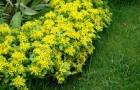 Растение-медонос очиток