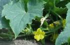 Растение-медонос огурец посевной