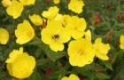 Растение-медонос ослинник (энотера)