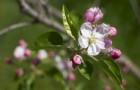 Растение-медонос персик обыкновенный