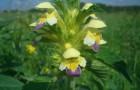 Растение-медонос пикульник