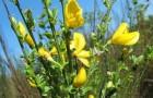 Растение-медонос ракитник