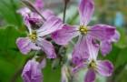 Растение-медонос редька