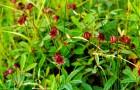 Растение-медонос сабельник болотный