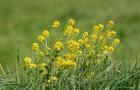 Растение-медонос сурепка