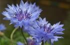 Растение-медонос василек