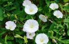 Растение-медонос вьюнок