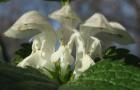 Растение-медонос яснотка