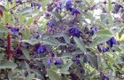 Растение-медонос жимолость