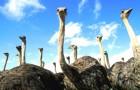 Содержание родительского стада страусов