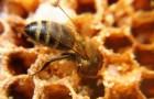 Воровство меда пчелами из других ульев