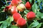 Персиковое дерево - основа для топлива будущего