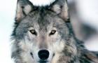 Зимняя облавная охота на волка с флажками